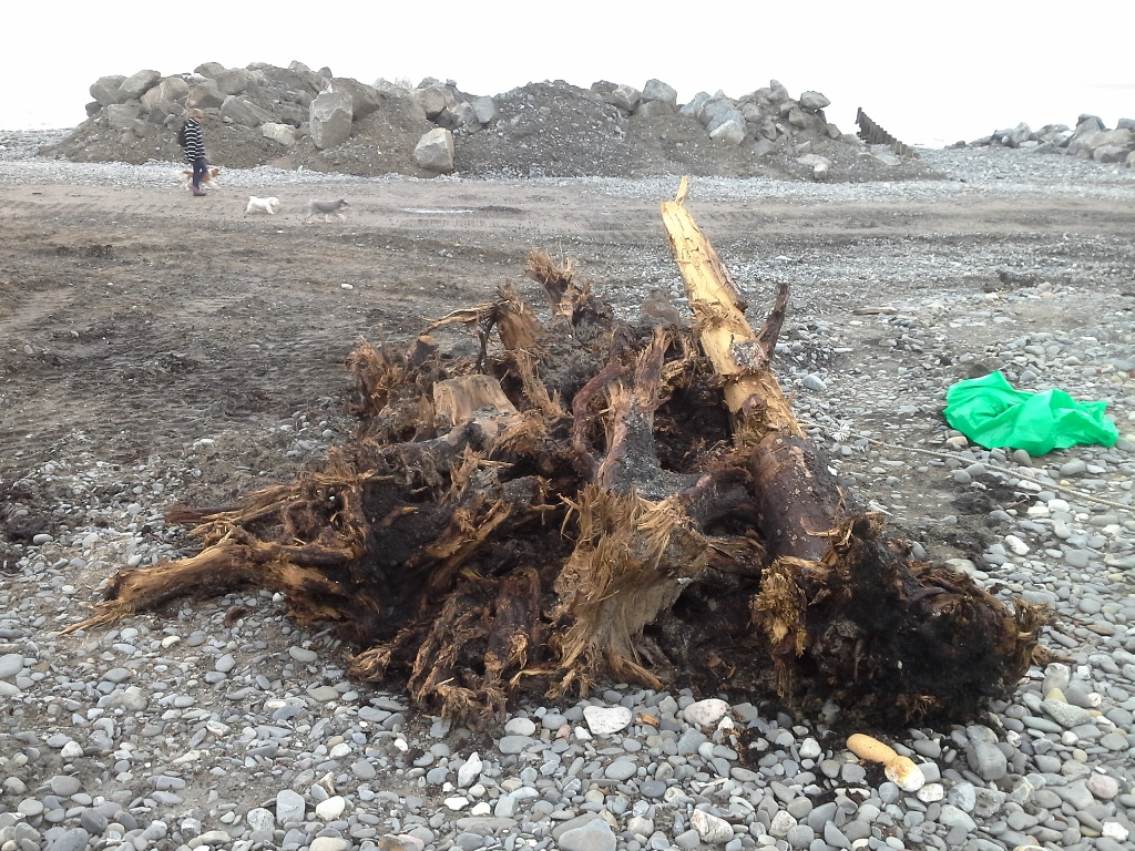 Ancient tree stumps for the submerged forest, dug out during the storm defence work at Borth.