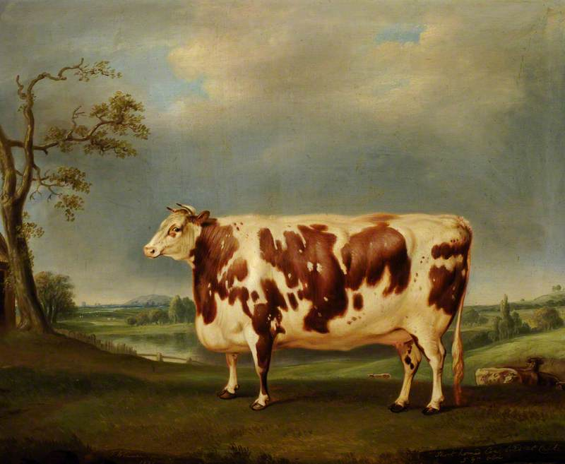 A Brindled shorthorn cow bred at Calke.  1831 Thomas Weaver, artist